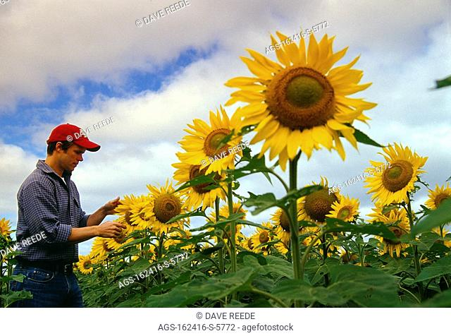 Agriculture - A farmer inspects his crop of blooming mid season sunflowers / Canada - MB, St. Agathe