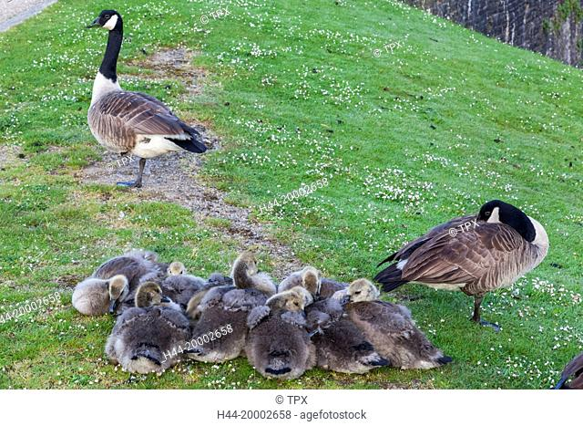 Wales, Glamorgon, Caerphilly, Geese and Goslings