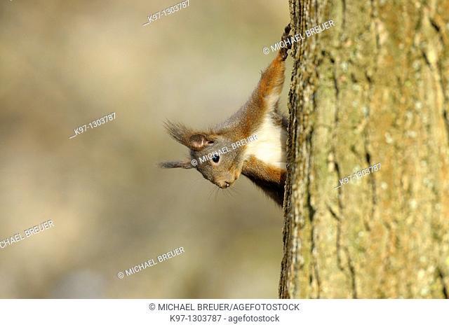 Red squirrel, Sciurus vulgaris, Germany, Europe