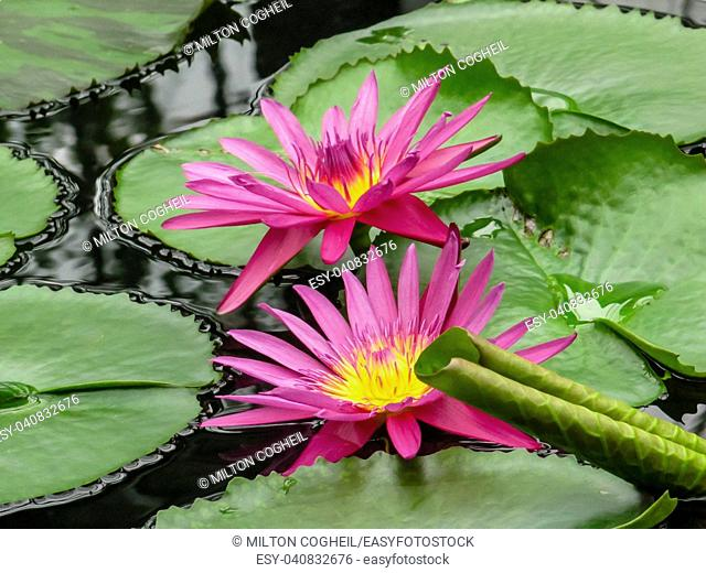 Pink and yellow waterlily flowers (Nymphaea) amongst green lily pads at Kew Gardens