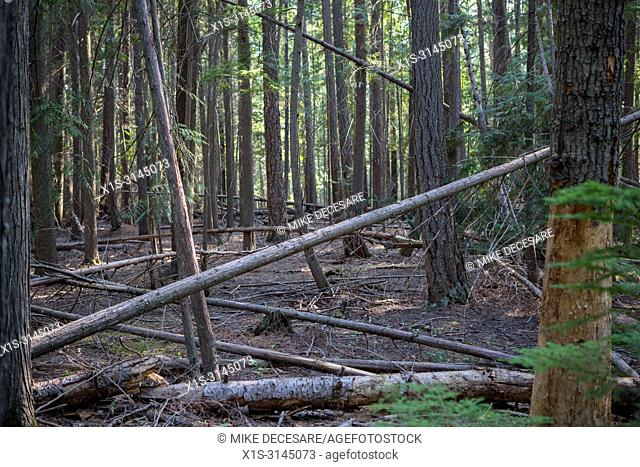 Storms and other natural events topple trees as part of the natural life cycle of a healthy forest, like this forest in Kokanee Provincial Park in British...