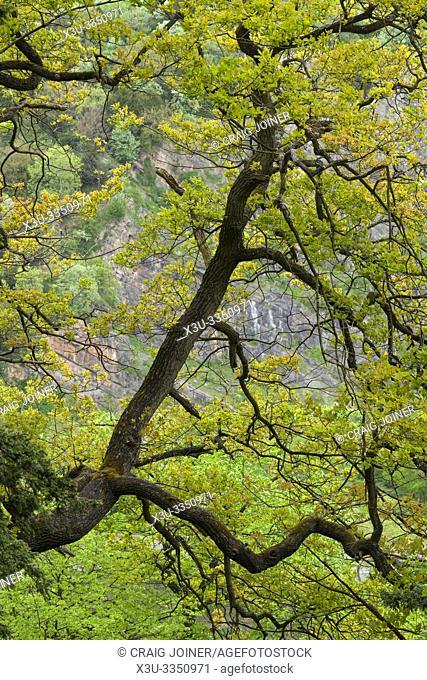 An oak tree overhanging Avon Gorge at Leigh Woods near Bristol, North Somerset, England