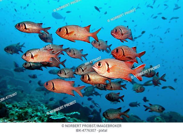 Swarm Blackbar soldierfishes (Myripristis jacobus), Pacific, Queensland, Australia