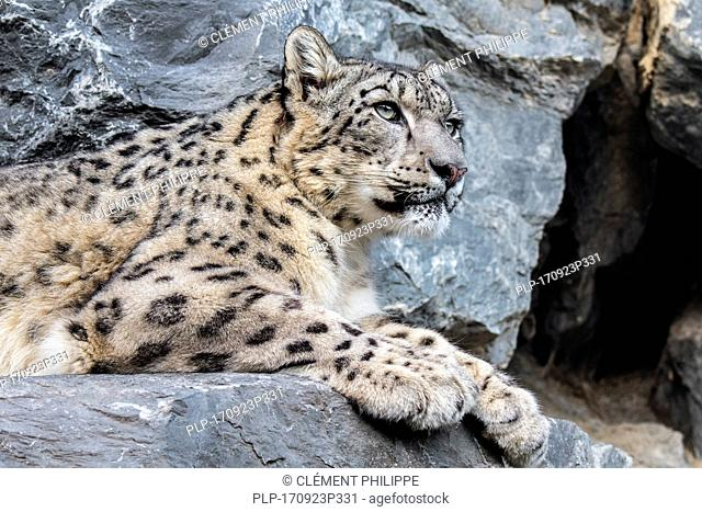 Snow leopard / ounce (Panthera uncia / Uncia uncia) resting on rock ledge in cliff face near cave entrance