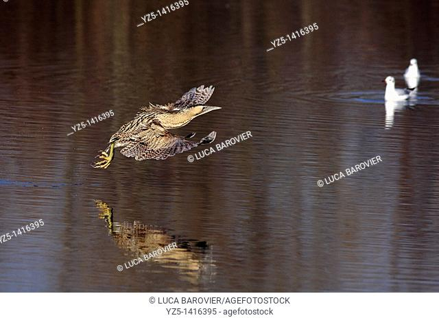 Bittern - Botaurus stellaris - Flying bittern mirrored no lake, Parco delle cave, Milano Italy