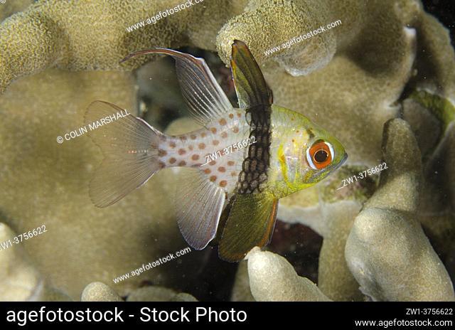 Pajama Cardinalfish (Sphaeramia nematoptera), night dive, Mimpi Channel dive site, near Menjangan Island, Bali, Indonesia