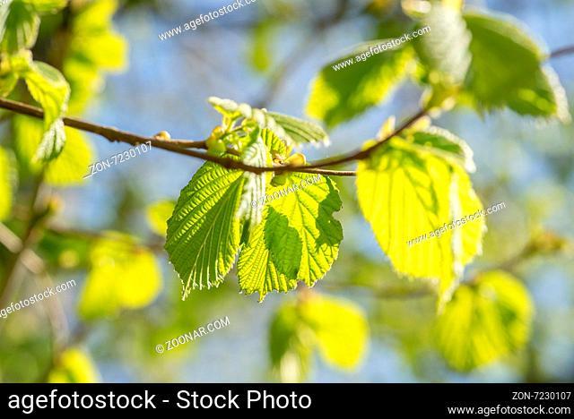 Fresh green beech leaves in the springtime