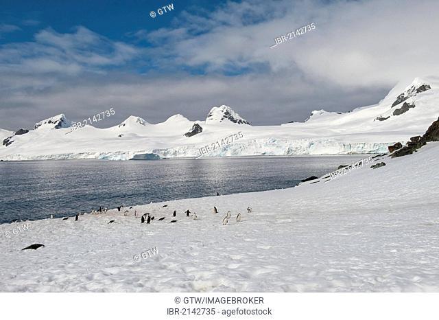 Chinstrap penguins (Pygoscelis antarctica), Half Moon Island, South Shetland Island, Antarctic Peninsula