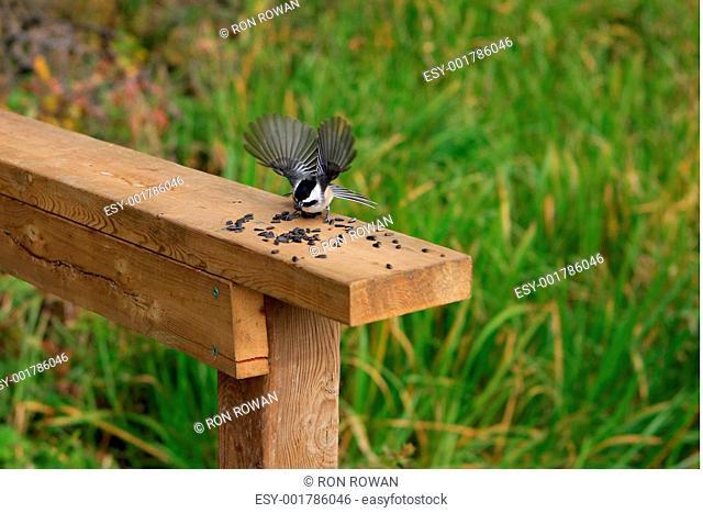 Black-capped Chickadee Poecile atricapillus