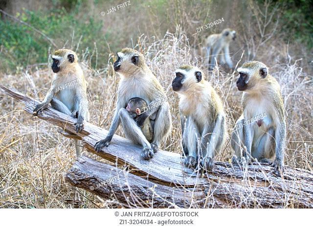 monkeys (chlorocebus pygerythrus) with baby in Tsavo East Wildpark, Kenya
