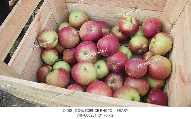 People putting freshly picked apples into a wooden crate