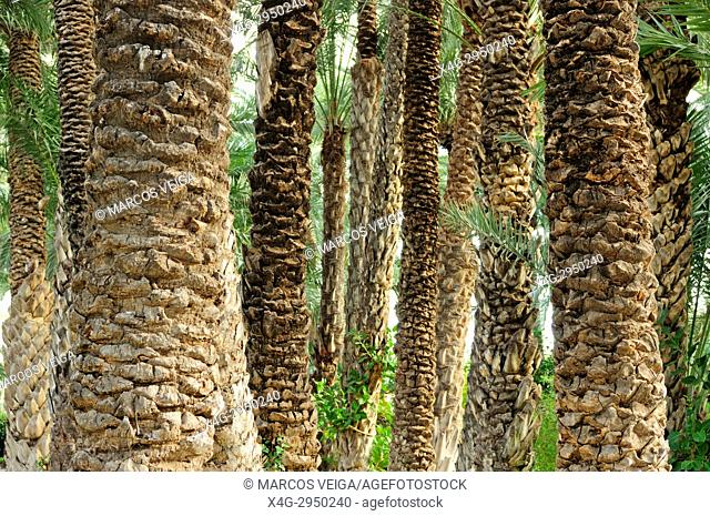 Date palm trees (Phoenix dactylifera) in the palm forest known as El Palmeral. Elche, Alicante, Spain