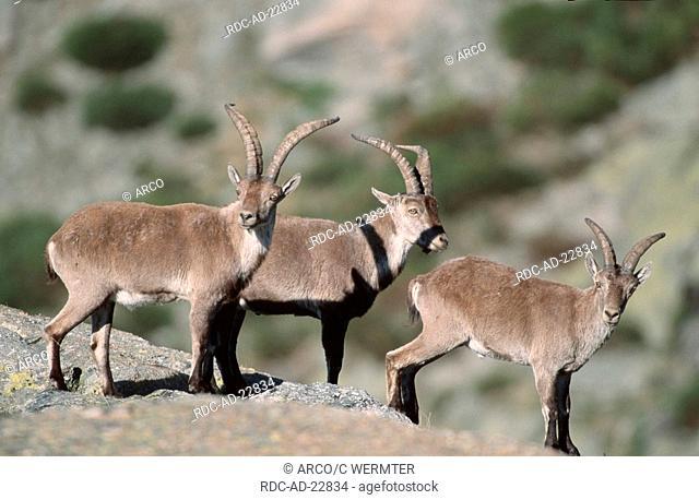 Spanish Ibex males Sierra de Gredos Spain Capra pyrenaica victoriae