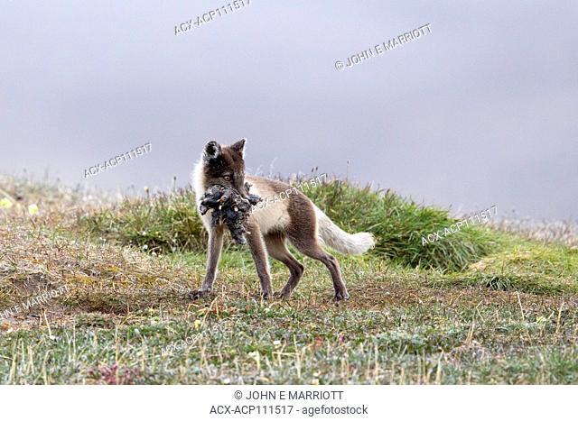 Arctic fox, Nunvaut, Canada