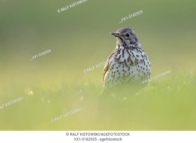 Song Thrush ( Turdus philomelos ) in breeding dress, sitting on the ground, in grass, extra low point of view, nice light