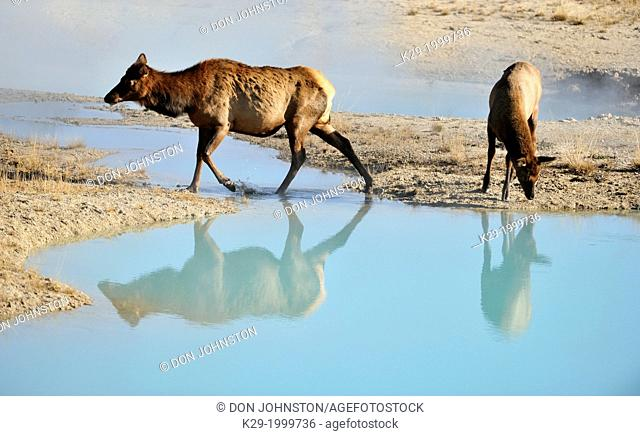 Elk (Cervus elaphus) Female and calf in the West Thumb geyser basin, Yellowstone NP, Wyoming, USA