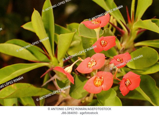 Crown of Thorns (Euphorbia milii), toxic plant