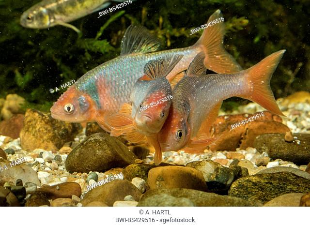 red shiner (Notropis lutrensis, Cyprinella lutrensis), rivaling males