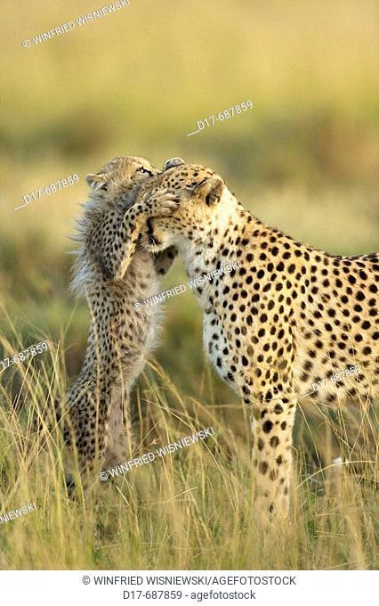 Cheetah mother (Acinonyx jubatus) with a cub in the grass. Masai Mara Preserve, Kenya