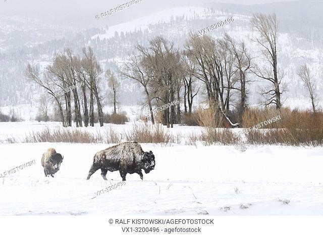 American Bison ( Bison bison ) in typical surrounding, walking through snow, Lamar Valley, Yellowstone, Wyoming, USA.