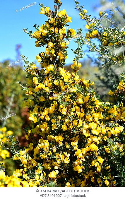 Spiny broom or thorny broom (Calicotome spinosa) is a very spiny shrub native to western Mediterranean Basin. Flowers detail