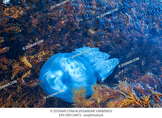 Blue blubber jellyfish among algae in the shallows of rocky sea bay waters closeup from above view
