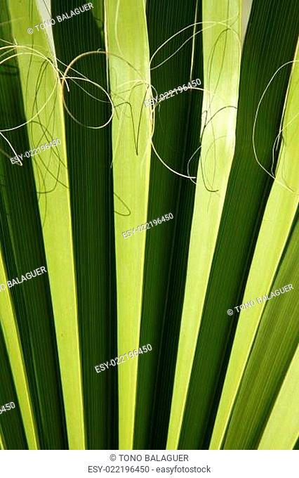 Palm leaf detail with curling fiber