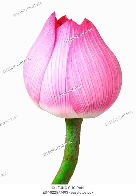 Lotus bud isolated on white background