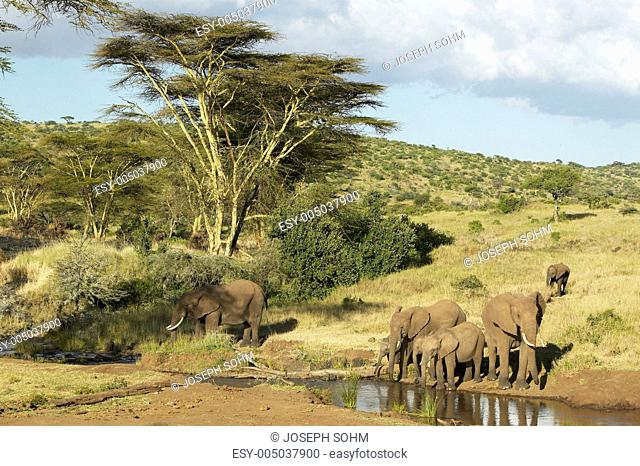 African Elephants drinking water at pond in afternoon light at Lewa Conservancy, Kenya, Africa