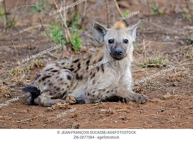 Spotted hyena or Laughing hyena (Crocuta crocuta), lying, attentive, Kruger National Park, South Africa, Africa