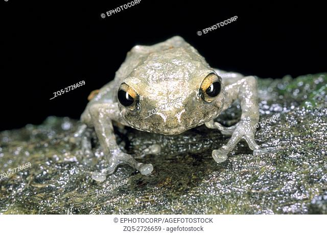 Philautus sp. One of the numerous members of a very diverse genus of tree frogs
