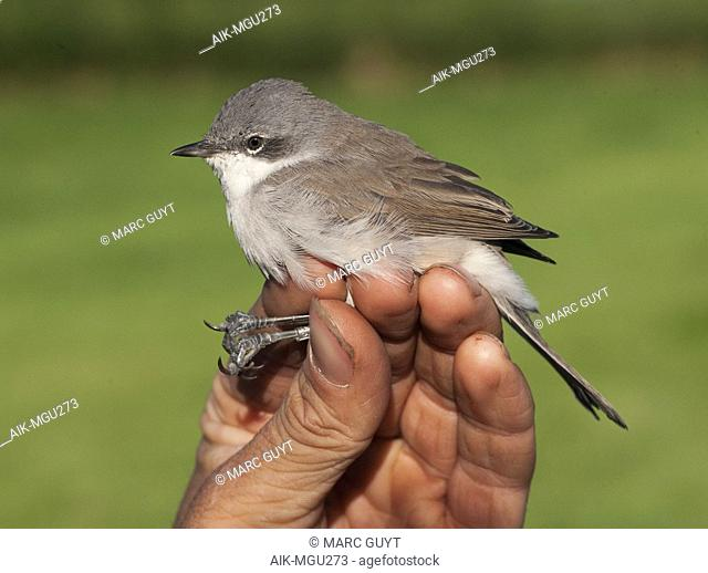 Lesser Whitethroat (Sylvia curruca) caught in late August at the ringing station of Nijmegen, Netherlands