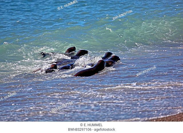 Southern sea lion, South American sea lion, Patagonian sea lion (Otaria flavescens, Otaria byronia), pups in the sea, Argentina, Peninsula Valdes