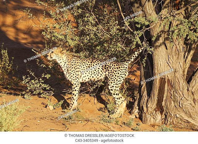 Cheetah (Acinonyx jubatus). Male. Marking its territory by urinating against a camelthorn tree (Acacia erioloba). Kalahari Desert, Kgalagadi Transfrontier Park