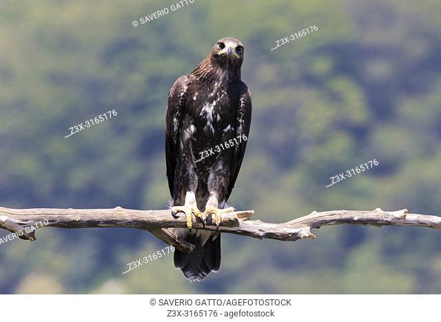 Golden Eagle (Aquila chrysaetos), juvenile perched on a dead branch