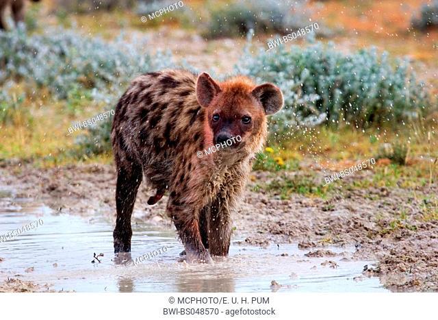 spotted hyena (Crocuta crocuta), shaking, Namibia
