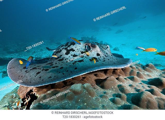 Blackspotted Stingray at Cleaning Station, Taeniura meyeni, Indian Ocean, Maldives