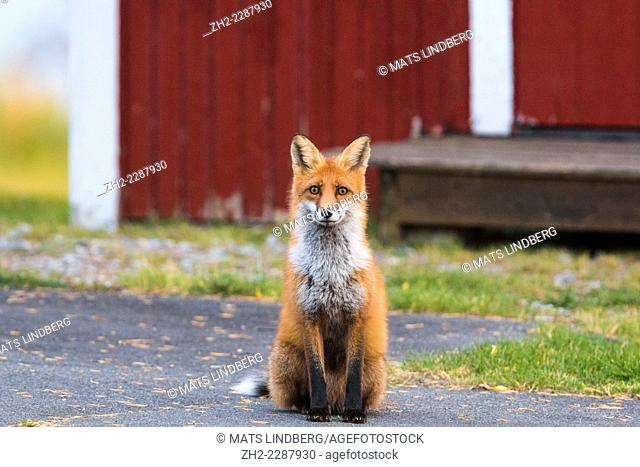 Red fox, Vulpes vulpes, sitting outside house in swedish lapland, sweden