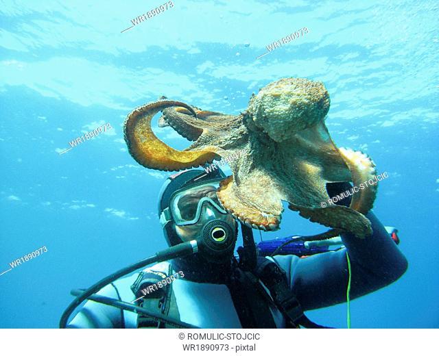 Diver and Octopus, Adriatic Sea, Dalmatia, Croatia