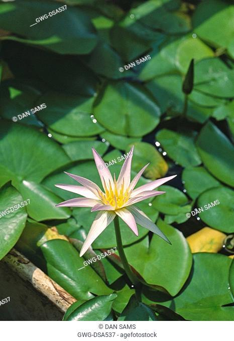 NYMPHAEA STELLATA LOTUS FLOWER. SHAPLA NATIONAL SYMBOL OF SRI LANKA AND BANGLADESH
