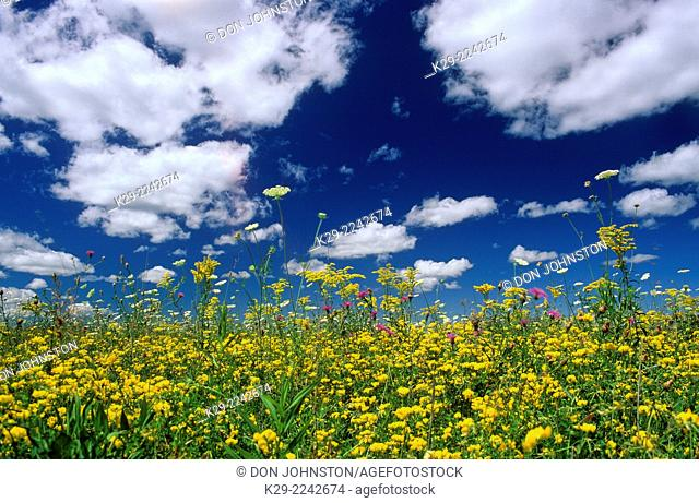 Summer wildflowers and summer clouds, near Kagawong, Ontario, Canada