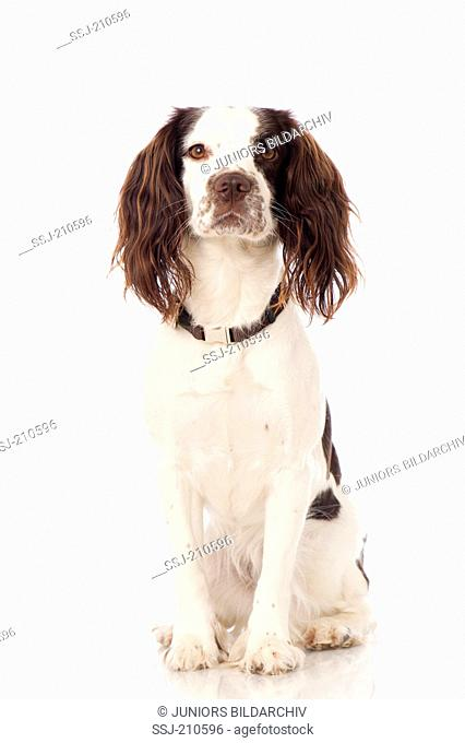 English Springer Spaniel. Adult dog sitting. Studio picture against a white background. Germany