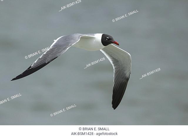 Adult Laughing Gull (Larus atricilla) in breeding plumage in Galveston County, Texas, USA. In flight