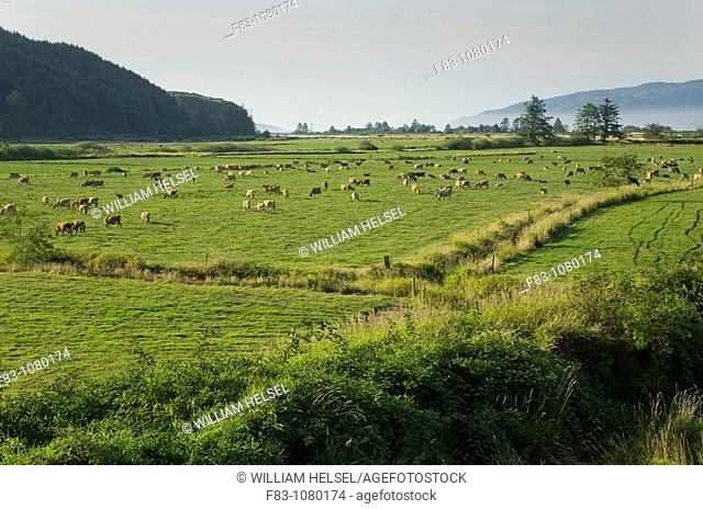 USA, Oregon, Tillamook County, diary cows grazing in pasture beside the Tillamook River leading into Tillamook Bay, August