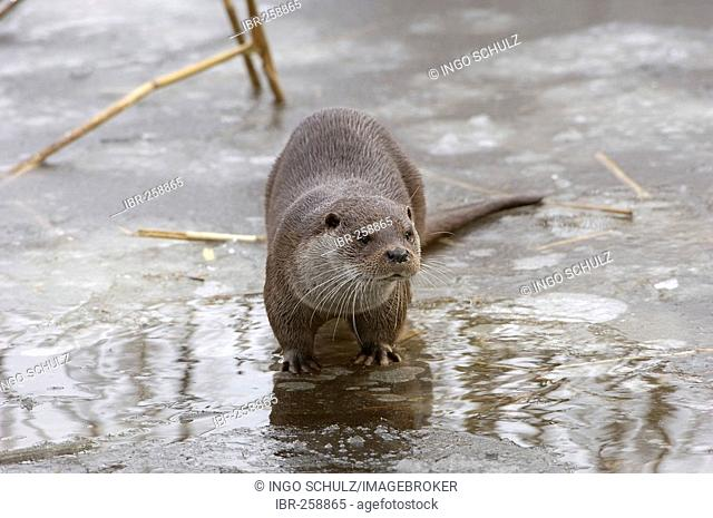 Otter, lutra lutra