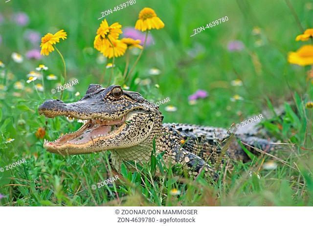 American alligator (Alligator mississippiensis) basking in flower field