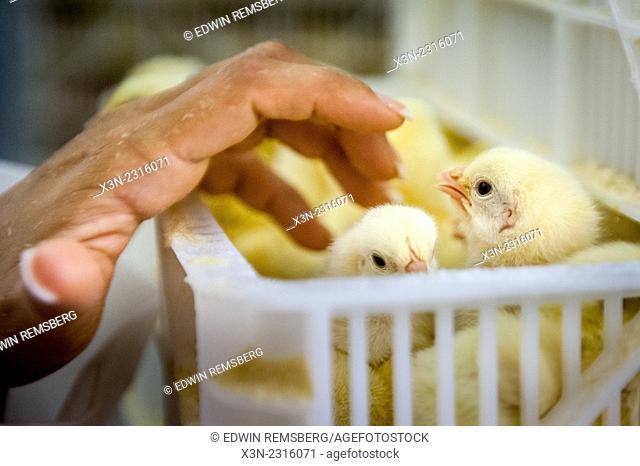 Woman's hand touching baby chicks in Salisbury, Maryland, USA