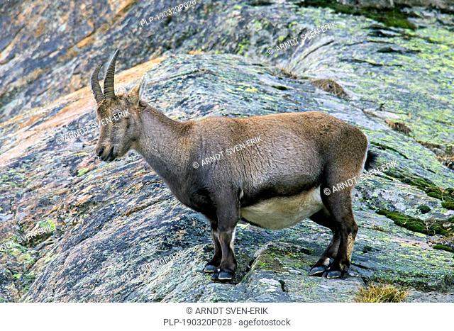 Alpine ibex (Capra ibex) pregnant female foraging on mountain slope in winter in the Gran Paradiso National Park, Italian Alps, Italy