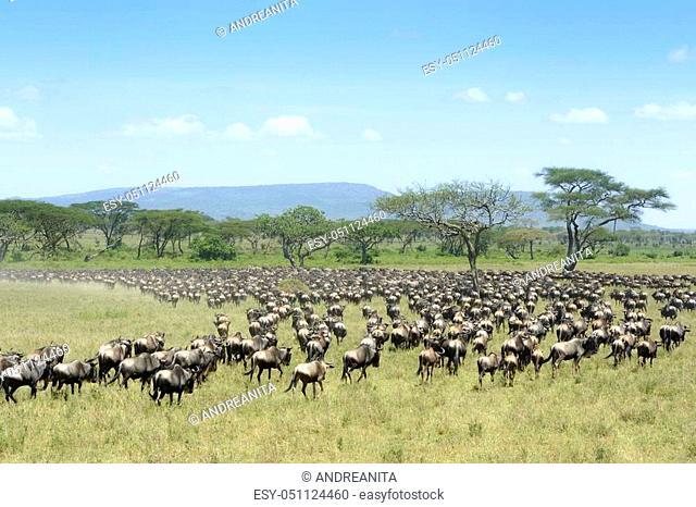 Herd of Blue Wildebeest ( Connochaetus taurinus) seen from behind, during migration, Serengeti national park, Tanzania
