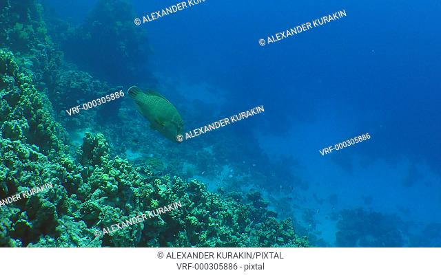 Humphead wrasse (Cheilinus undulatus) swims along the wall of a coral reef